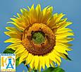 Среднепоздний гибрид семян подсолнечника НК Адажио (Круизер), фото 2
