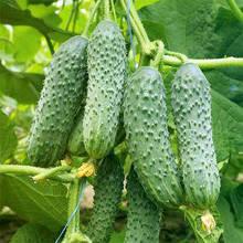 Семена огурца Туми F1, 1 шт, Enza Zaden (Энза Заден), Голландия