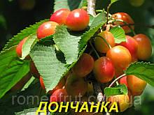 """Саджанці черешні """"Дончанка"""""""