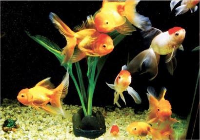 Фотошпалери Золоті рибки 207х242 (15л)(Палітра)