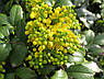 Магония Желтая / Саженцы, фото 4