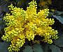 Магония Желтая / Саженцы, фото 8