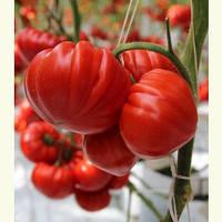Семена красного томата Сарра F1 250 сем Clause / Клоз