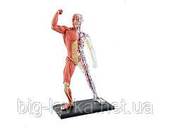 Объемная анатомическая модель 4D Master Muscle