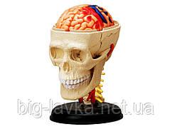 Объемная анатомическая модель 4D Master