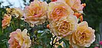 Роза плетистая Мишка (Michka)