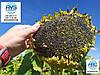 Высокоурожайный подсолнечник ГУСЛЯР, Засухоустойчивый гибрид Гусляр, Семена устойчивы к заразихе и засухе.