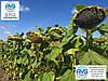 Гибрид подсолнечника Гусляр 105 дней. Урожайный подсолнечник Гусляр 35ц/га, Устойчивый к заразихе расам А-Е.