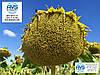 Високоврожайний соняшник Гусляр 35ц/га, Засухостійкий гібрид Гусляр, Насіння стійке до вовчка А-Е та посухи. Олійність 52%.
