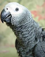 Птенец попугая Жако, фото 1