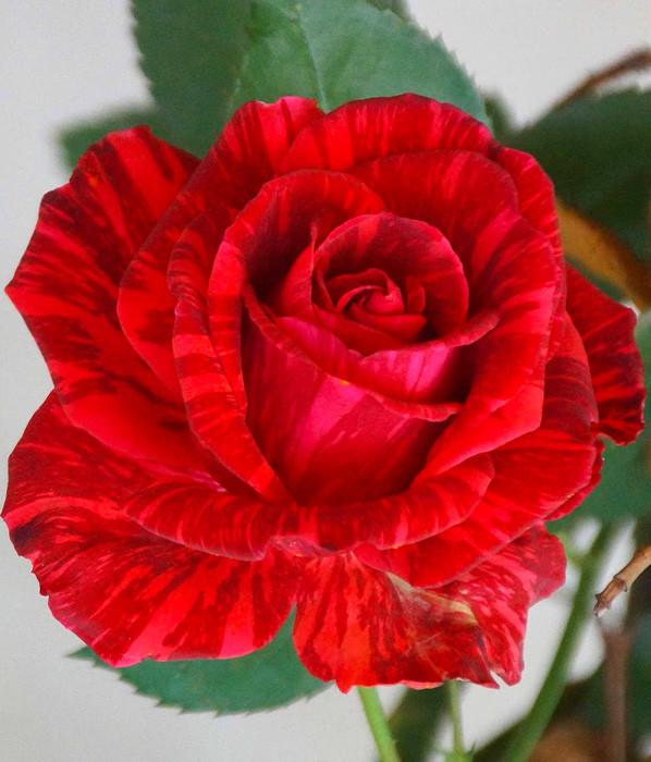 Роза Red Intuition (Ред Интуишн) чайно-гибридная 1 саженец