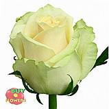 Роза белая Аваланч 40 см - 110 см, фото 5