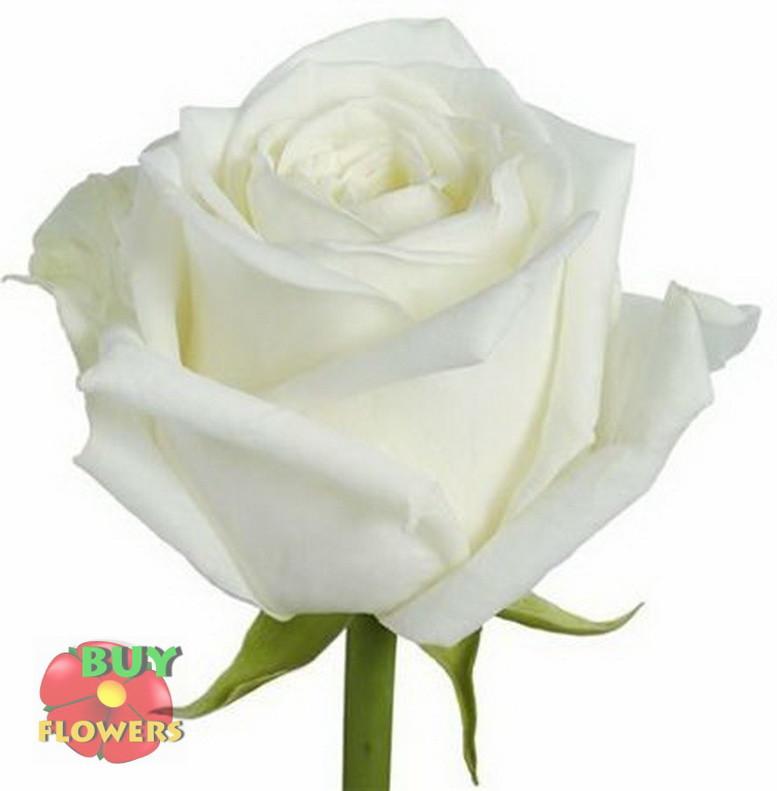 Роза белая Аваланч 40 см - 110 см
