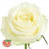 Роза белая Аваланч 40 см - 110 см, фото 3