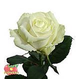 Роза белая Аваланч 40 см - 110 см, фото 2