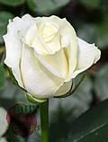 Роза белая Аваланч 40 см - 110 см, фото 4