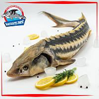 Осётр Черноморский охлаждённый 1,5-2,5 кг