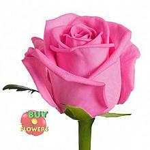 Роза розовая Аква 40 - 90 см.