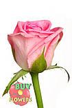 Роза розовая Аква 40 - 90 см., фото 2