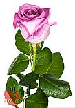 Роза розовая Аква 40 - 90 см., фото 4