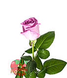 Роза розовая Аква 40 - 90 см., фото 5