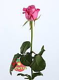 Роза розовая Аква 40 - 90 см., фото 6