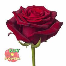Роза темно бордовая Гран При 40 - 110 см