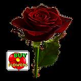Роза темно бордовая Гран При 40 - 110 см, фото 4
