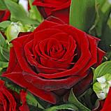 Роза темно бордовая Гран При 40 - 110 см, фото 5