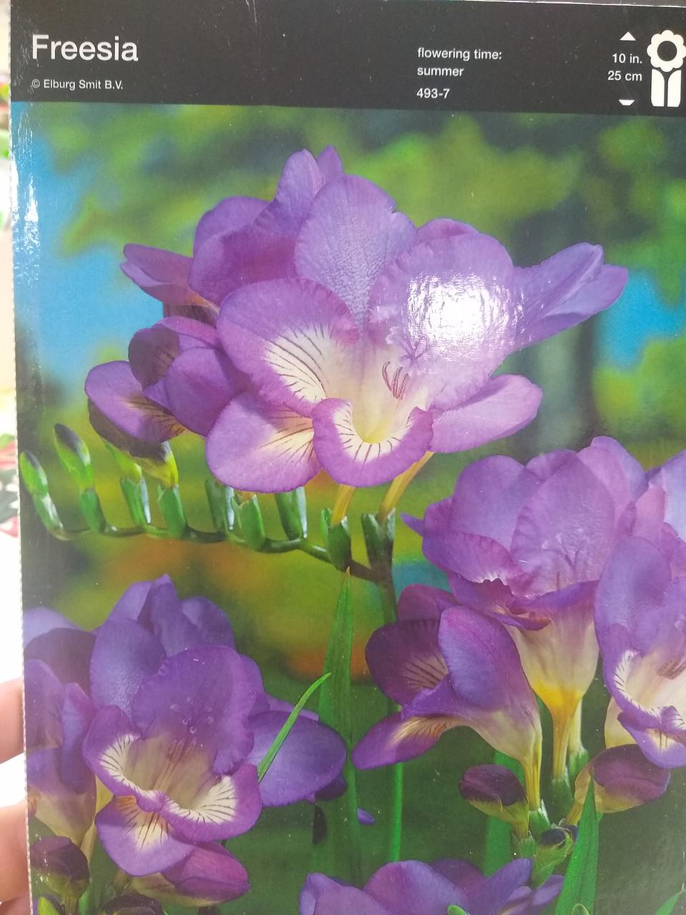 Луковица фрезии махровой фиолетовой Freesia 1 шт Junior Голландия