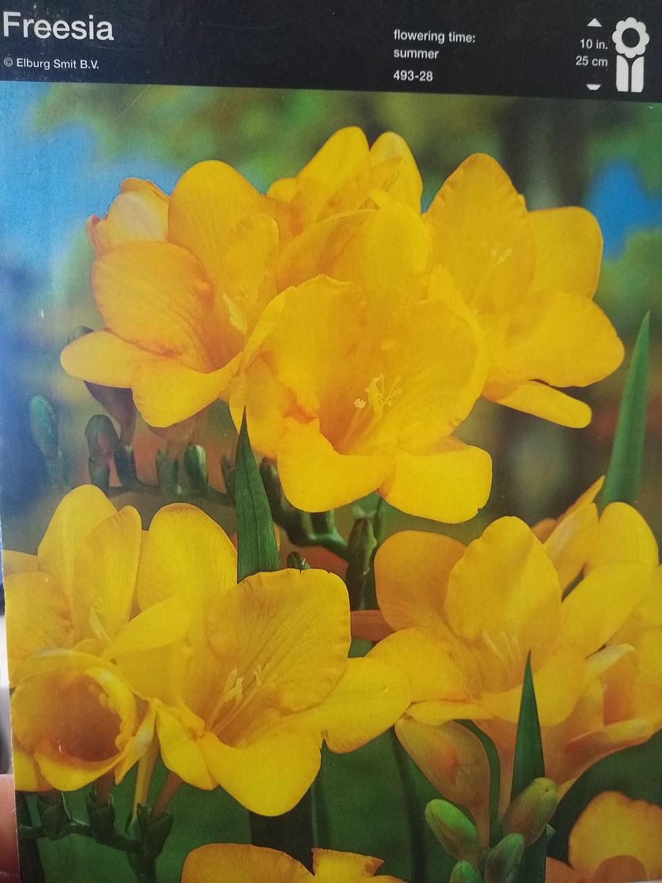 Луковица фрезии махровой желтой Freesia 1 шт Junior Голландия