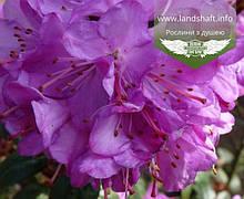 Azalea japonica 'Geisha Purple', Азалія японська 'Гейша Пьорпл',C2 - горщик 2л
