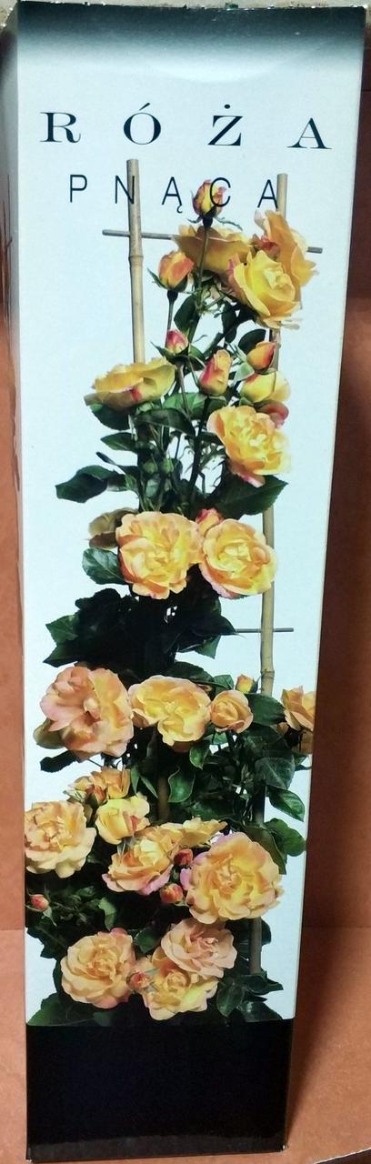 Троянда плетиста жовто рожева 1шт