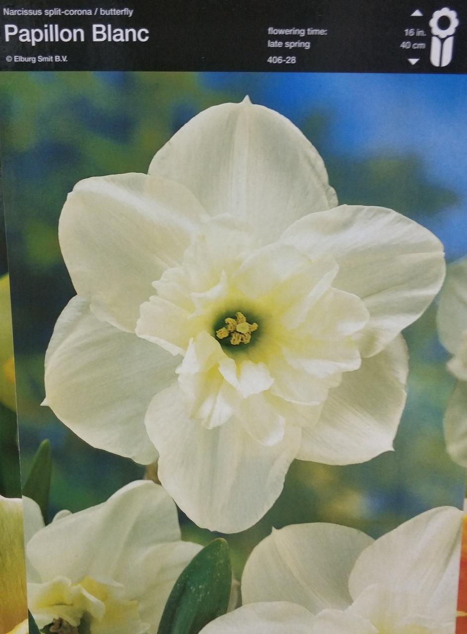 Нарцис Papillon Blanc 1шт