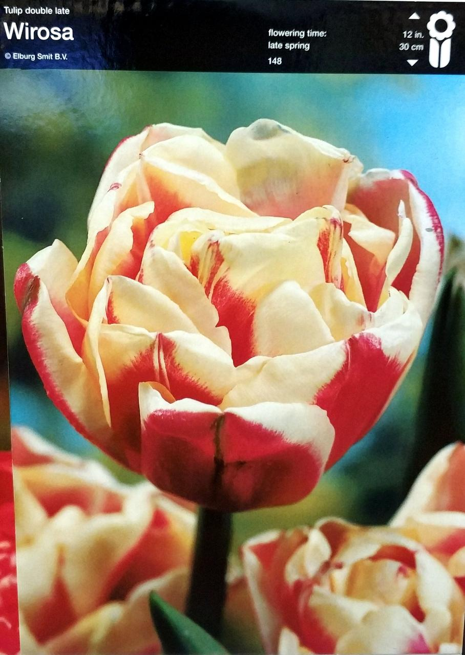 Тюльпан Wirosa 1шт