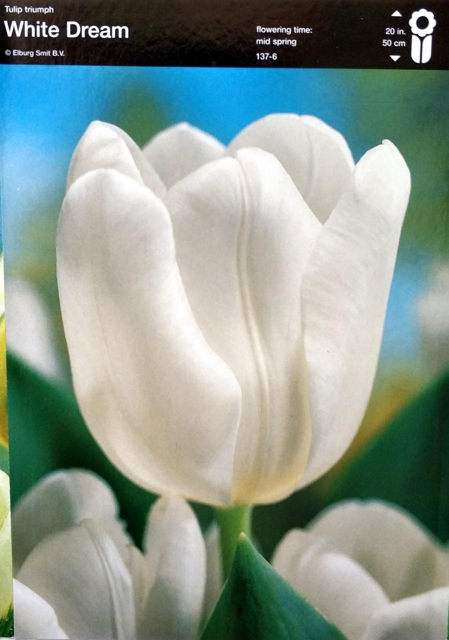 Тюльпан White Dream