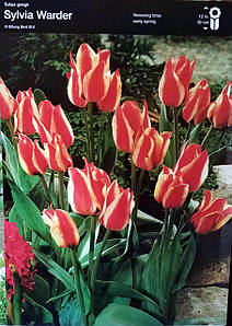 Тюльпан Sylvia Warder 1шт