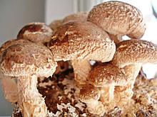 Мицелий Шиитаке зерновой фасовка по 1 кг.