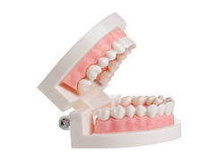 Профессиональная стоматологическая обучающая модель белых зубов