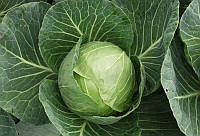 АКЦИЯ! Семена капусты Сир F1 1000 сем. Clause / Клоз, фото 1