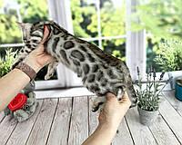 Мальчик Остин бенгал серебро, др. 27.01.2021. Бенгальские котята из питомника Royal Cats. Украина, Киев, фото 1