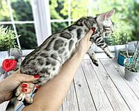 Мальчик Освальд бенгал серебро, др. 27.01.2021. Бенгальские котята из питомника Royal Cats. Украина, Киев, фото 1