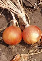 Семена лука Испаньол 0,5 кг