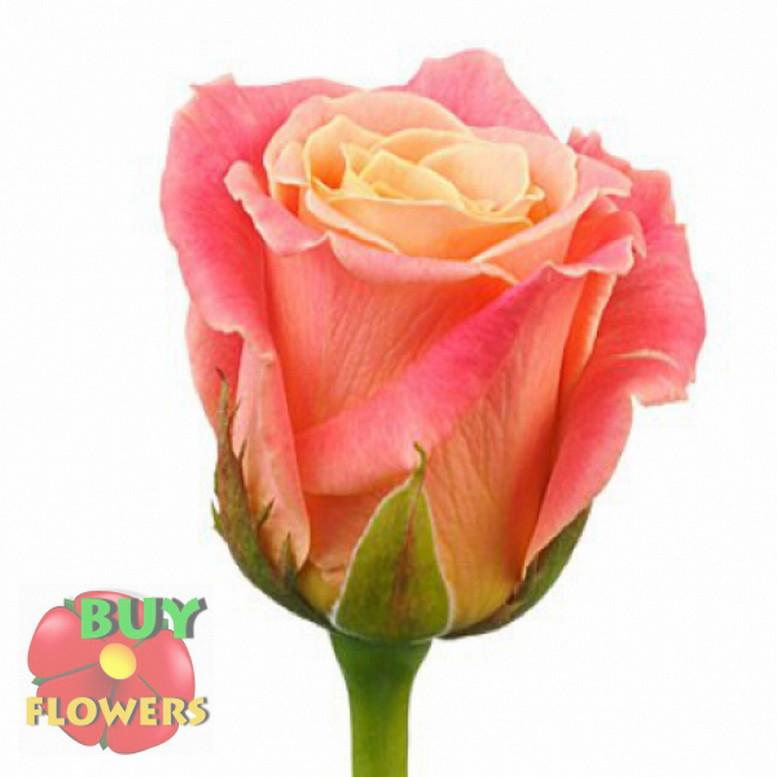 Роза розовая Мисс Пигги 40 - 110 см