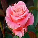 Роза розовая Мисс Пигги 40 - 110 см, фото 5