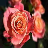 Роза розовая Мисс Пигги 40 - 110 см, фото 4