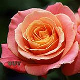 Роза розовая Мисс Пигги 40 - 110 см, фото 9