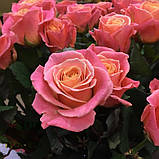 Роза розовая Мисс Пигги 40 - 110 см, фото 7