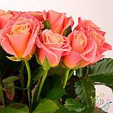 Роза розовая Мисс Пигги 40 - 110 см, фото 6