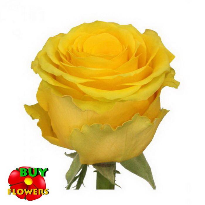 Роза желтая Пени Лейн 40 - 100 см